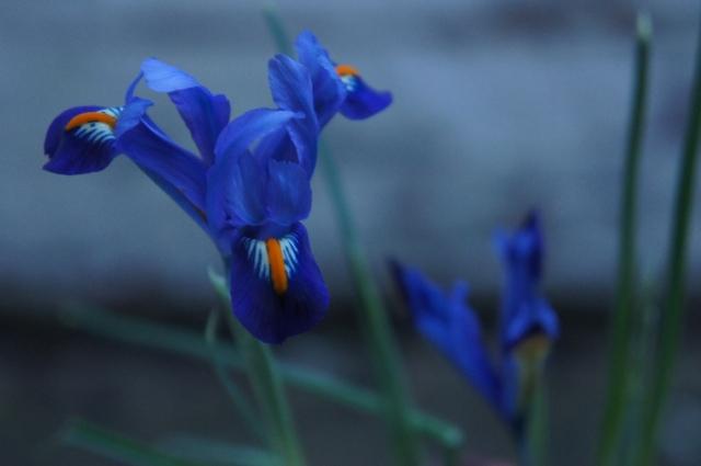 Irises, Wednesday
