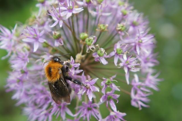 Bee on allium