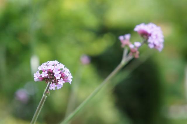 Verbena Bonariensis 2