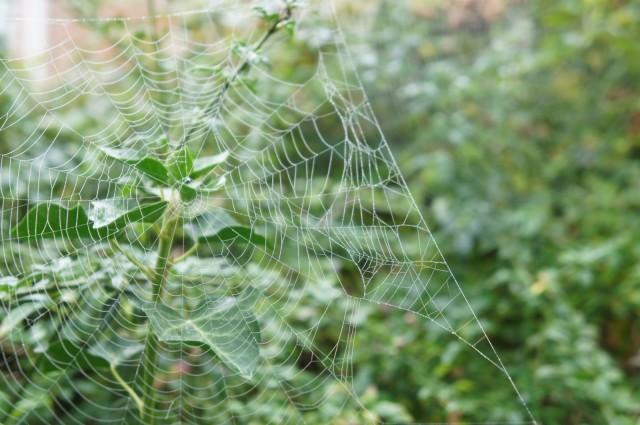 Spider web on ivy
